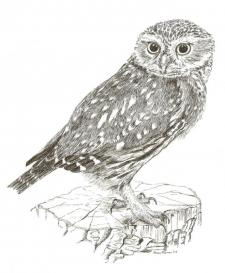 Small preview of Little Owl